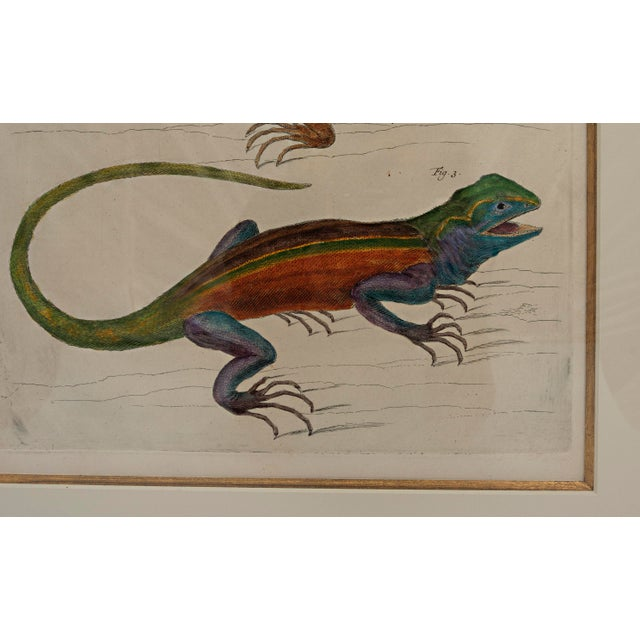 18th century Albertus Seba hand-colored print of three lizards. The print is framed is a custom wood carved frame. The...