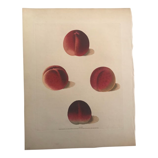 19th Century Duc De Tillees, Brugnon Nectarines Engraving by George Brookshaw For Sale