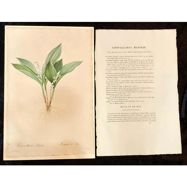 Convallaria Majalis hand colored engraving signed P. J. Redoute. One signed and numbered of a set of large and impressive...