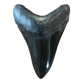 Large Megalodon Shark Tooth Fossil Specimen For Sale
