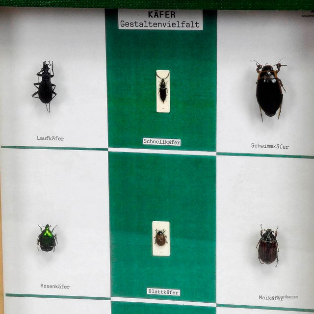 a vintage school teaching showcase with specimen illustrating the diversity of beetle shapes. used as teaching material in...
