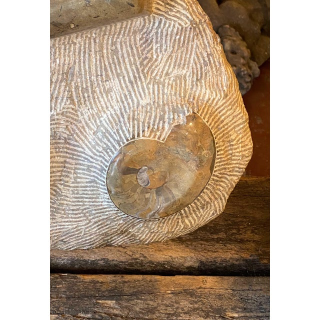 Shell 15th Century & Earlier Fossil Slab With Ammonites For Sale - Image 7 of 9