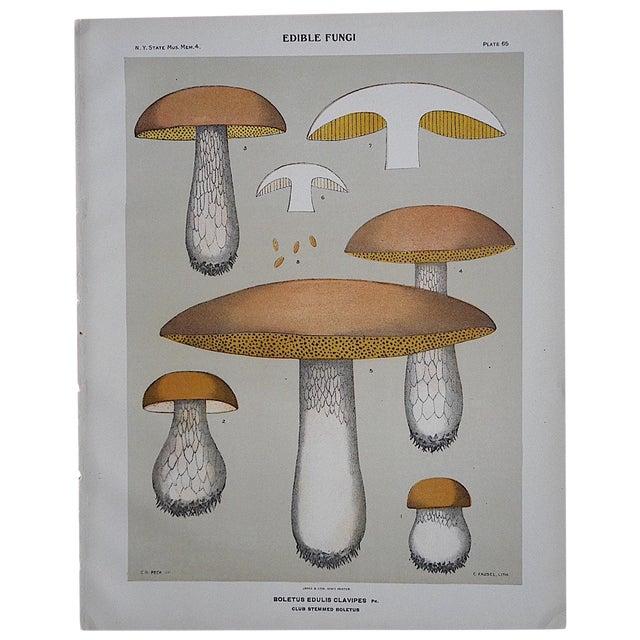 Antique Mushroom Chromolithograph - Image 1 of 3