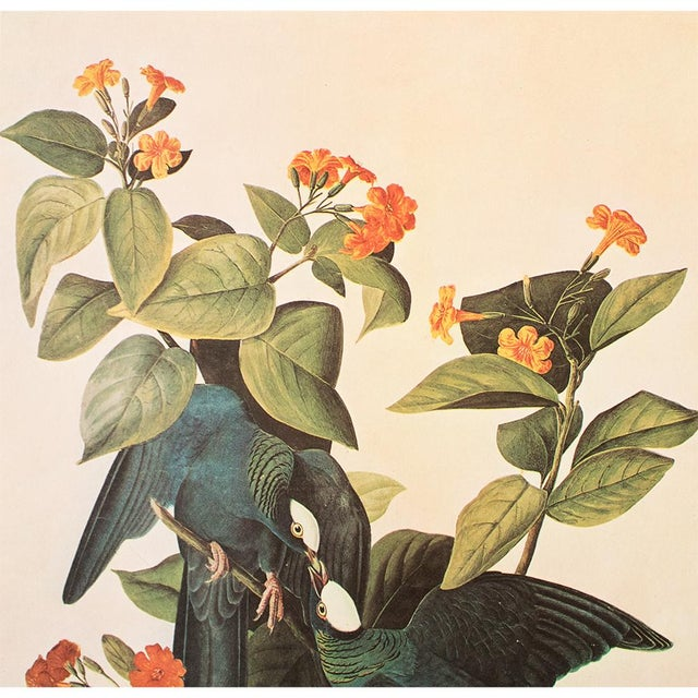 Contemporary White-Crowned Pigeon by John J. Audubon, Vintage Cottage Print For Sale - Image 3 of 8