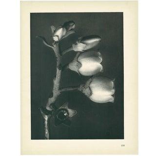 1928 Blueberry, Original Period Photogravure N108 by Karl Blossfeldt For Sale