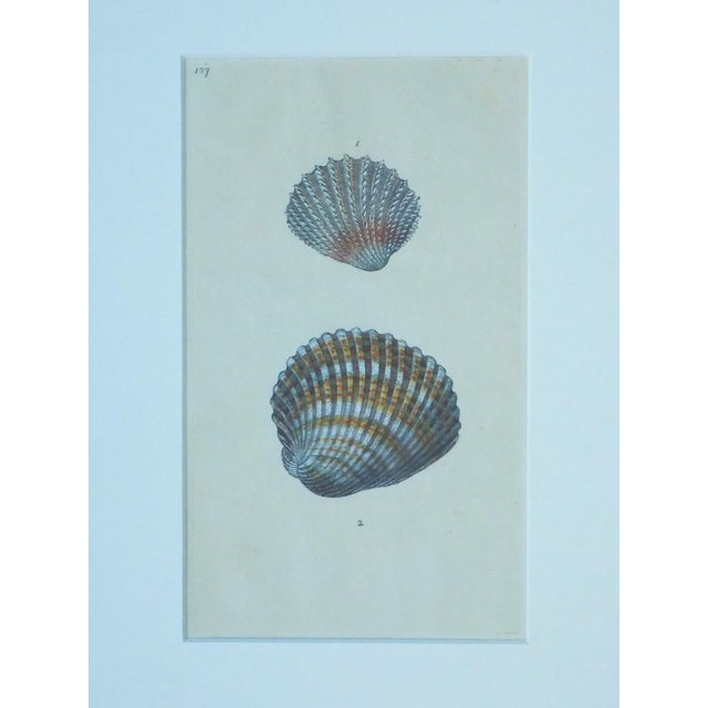 Cardita Shells, 1803 - Image 3 of 5