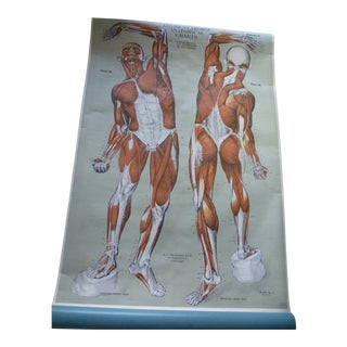 Vintage American Frohse Muscular System Anatomy Chart For Sale
