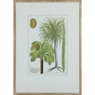 Rare Colored Botanical Engraving of Palm Trees From Phytanthoza Iconographia by Johann Wilhelm Weinmann For Sale