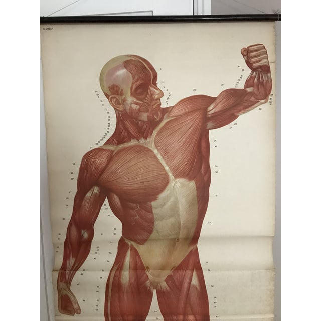 This very large paper on linen muscle chart . By the Dresden hygiene museum Shows the anterior human muscle In good...