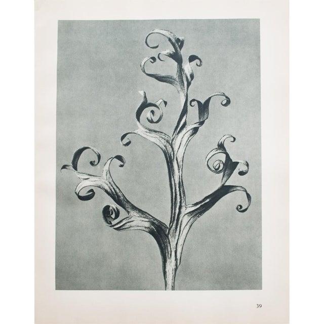 1935 Blossfeldt Photogravure N39-40 - Image 11 of 11