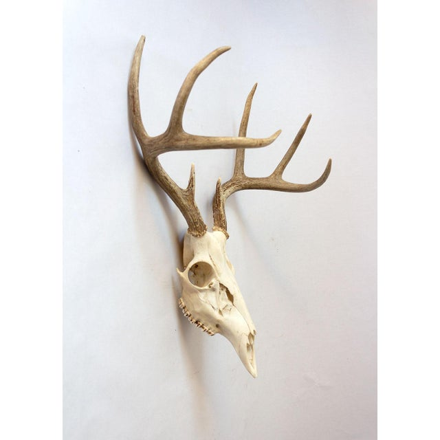 A pristine whitetail deer skull with 8-point rack. Trimmed on the back to lay flat on the wall and hang easily.