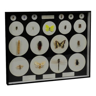 School Teaching Display Forms of Insects, Circa 1960 For Sale