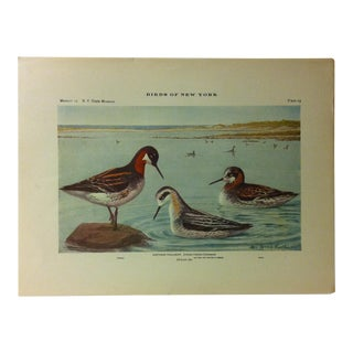 """1925 """"Northern Phalarope"""" the State Museum Birds of New York Print For Sale"""