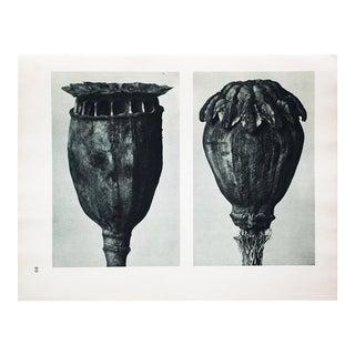 Karl Blossfeldt Photogravure N89-90, 1935