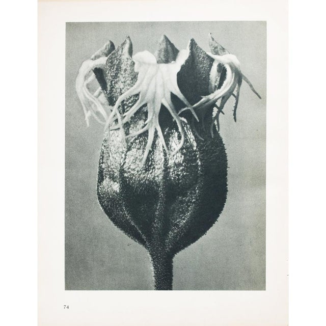 1930s 1935 Karl Blossfeldt Photogravure N74-73 For Sale - Image 5 of 12