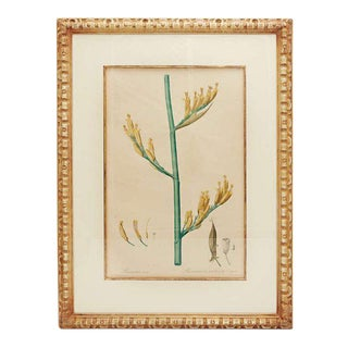 Botanical Print by Redoute of Phormium Tenax in Custom Frame For Sale