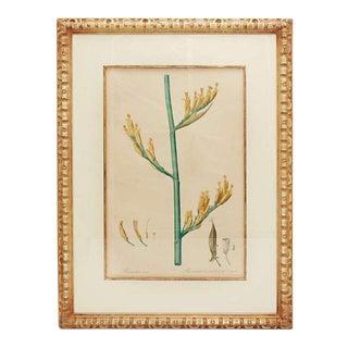 Redoute Phormium Tenax Botanical Print