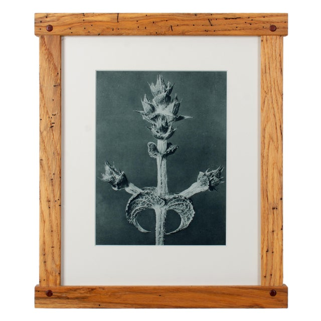 1920s Karl Blossfeldt Photogravures in Handcrafted Wormy Oak Frames, C.1929 - Set of 5 For Sale - Image 5 of 13