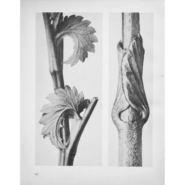 1935 Karl Blossfeldt Two-Sided Photogravure N62-61 For Sale In Dallas - Image 6 of 9