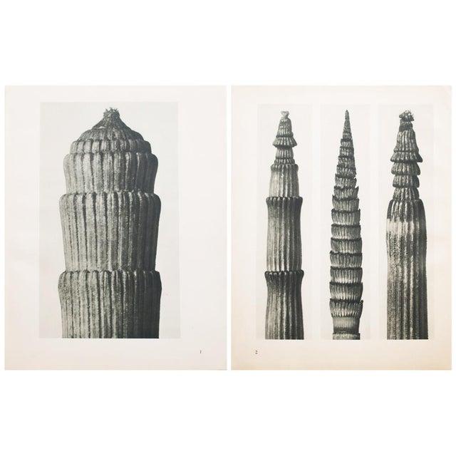 Karl Blossfeldt Two Sided Photogravure N1-2 - Image 8 of 9