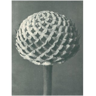 1928 Original Karl Blossfeldt Photogravure For Sale