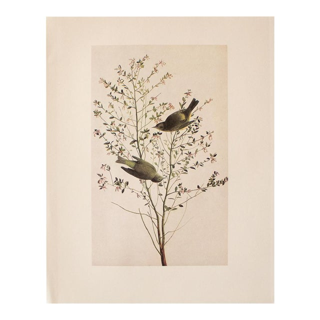 1966 Cottage Print of Orange-Crowned Warbler by Audubon For Sale