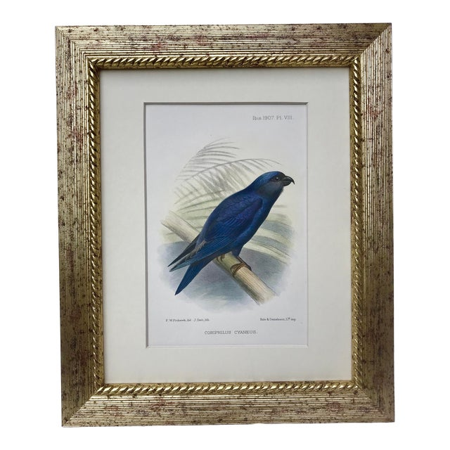 Antique Color Lithograph of Blue Bird Ibis C.1907 For Sale