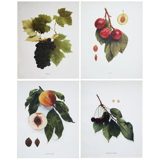 1900s Fruits of Ny Large Photogravures Prints - Set of 4