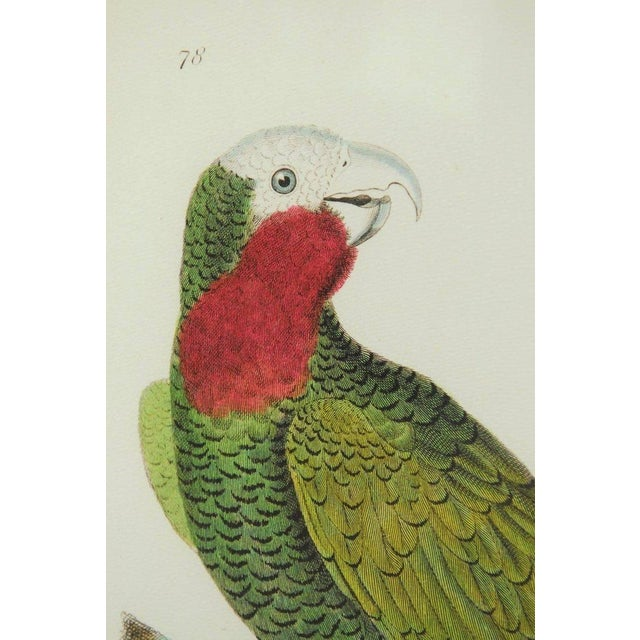 Colorful English hand-colored ornithological print of a white fronted parrot. Produced by Soicher-Marin after a 19th...