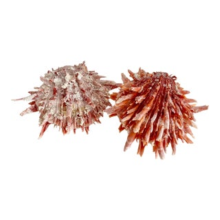 Natural Pink Spiney Seashells - a Pair For Sale