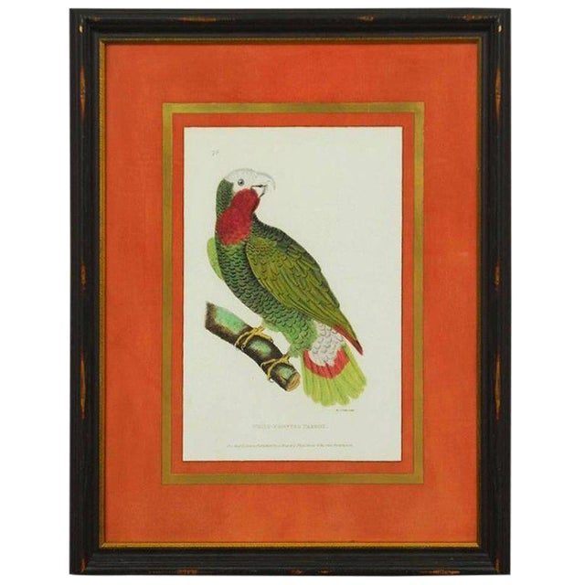 English Hand-Colored Ornithological Print of a Parrot For Sale