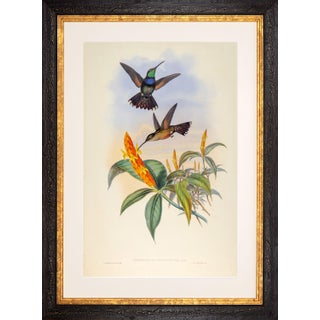1990s John Gould Blue-Breast or Sternoclyta Cyaneipectus (Plate 58) Framed Print For Sale