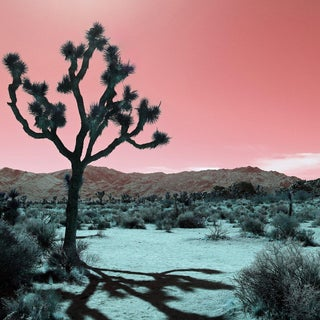 Contemporary 'Joshua Tree – Rose' Photography by Kristin Hart, 30x30 For Sale