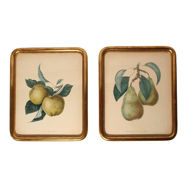 Antique French Apple & Pear Prints Framed in Gilt Wood - Pair For Sale