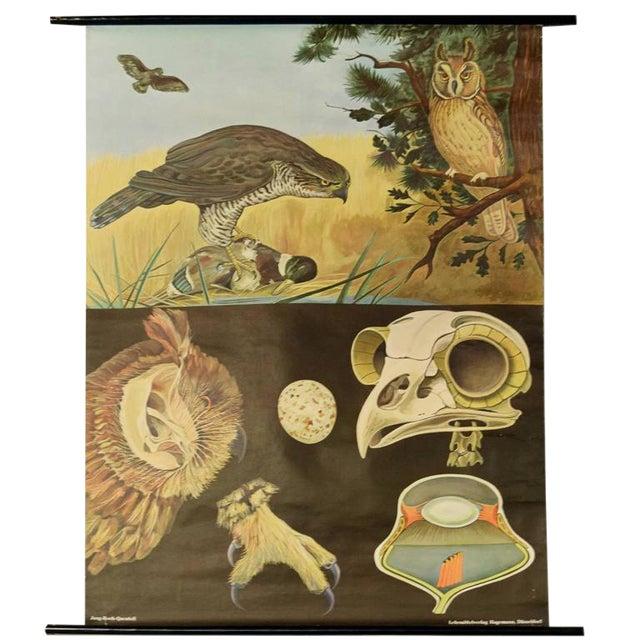 German Educational Poster of Birds of Prey - Image 1 of 4