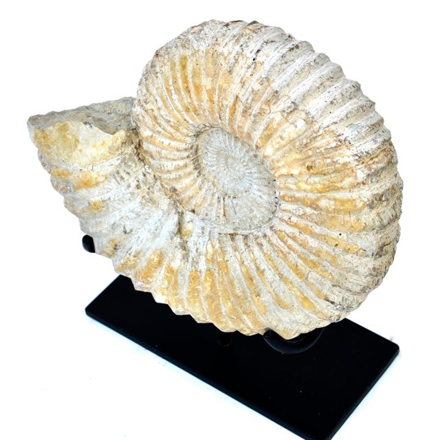 Large Fossilized Ammonite on Custom Iron Stand For Sale - Image 4 of 7