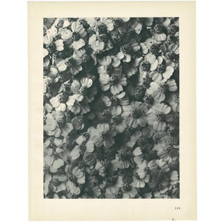 1928 Karl Blossfeldt Original Period Photogravure N114 of Achillea Millefolium For Sale