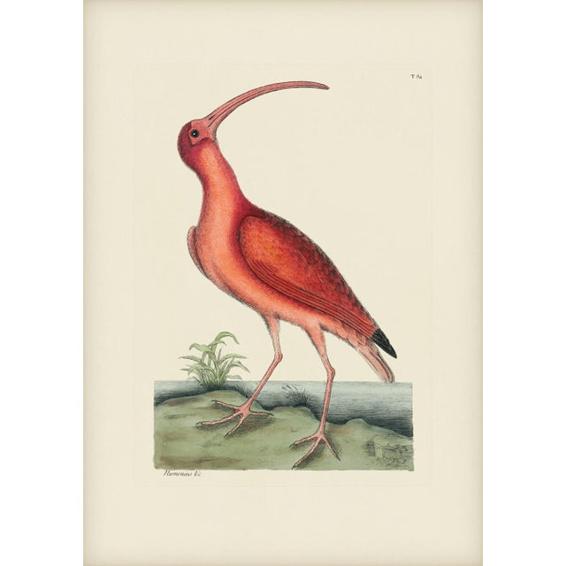 Mark Catesby Print of Red Curlew, Plate 84 For Sale - Image 4 of 4