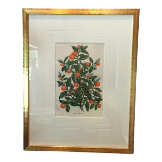 20th Century English Traditional Lithograph of Orange Tree For Sale
