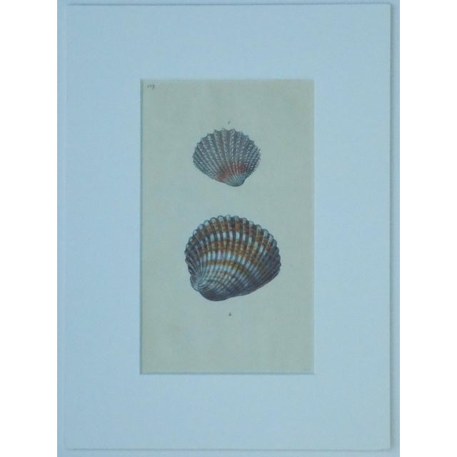 Cardita Shells, 1803 - Image 4 of 5