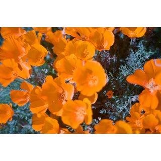 Yellow Poppy Field 16x24 Photo Print For Sale
