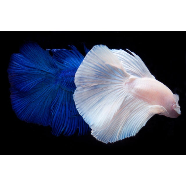 Color Photograph of 2 Male Beta Fish Swimming on Black. Printed on Archival Fine Art Paper