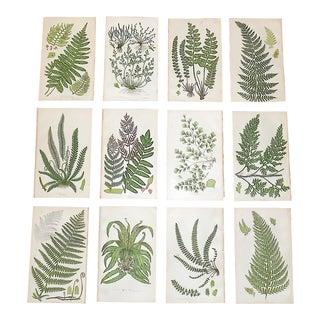 Antique 19th Century Botanical Lithographs - Ferns - Set of 12 For Sale