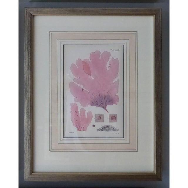 Antique Seaweed Engravings - Set of 8 - Image 3 of 8