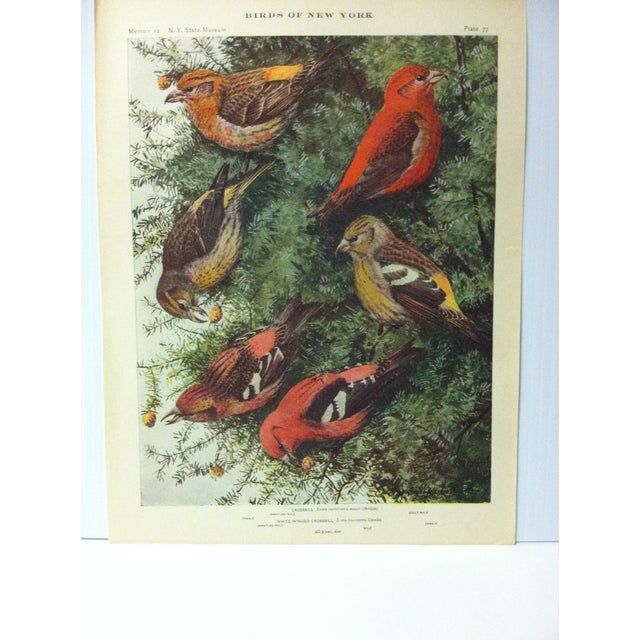 """This is a Real Nice Antique The State of New York Museum Birds of New York Print on Paper that is titled """"Crossbill"""". The..."""