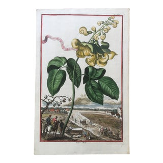 Early 18th Century Antique Botanical Engraving by Johann Volckamer For Sale