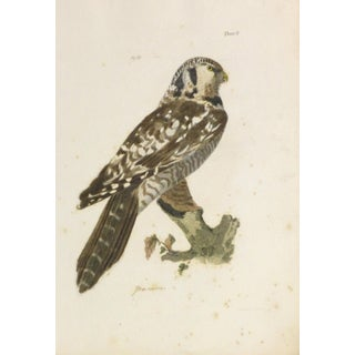 Antique 1850s Bird of Prey Engraving Print