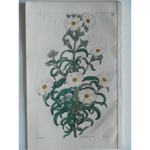 Antique Botanical Engravings - Set of 3 - Image 4 of 6