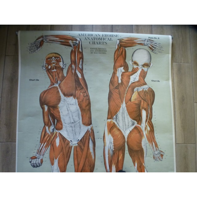 Vintage American Frohse Muscular System Anatomy Chart For Sale - Image 4 of 7