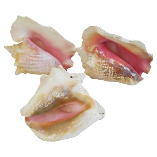 Natural Large Conch Seashells - Set of 3
